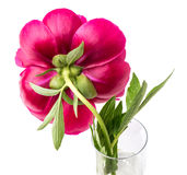 Deep Red Peony Flower Stock Images