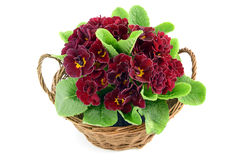 Deep red primrose (primula) in a basket. isolated white backgrou Stock Photography