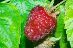 Deep red raspberry ready to be picked Royalty Free Stock Photography