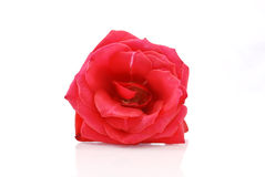 Deep Red Rose Stock Photos