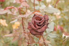 Deep red rose in autumn garden. Rose flower dying in fall, a lot of space for text. Selective focus. Vintage color. Red Stock Photos