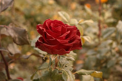 Deep red rose in autumn garden. Rose flower dying in fall, a lot of space for text. Selective focus. Vintage color. Red. Deep red rose in autumn garden. Lonely Royalty Free Stock Photos