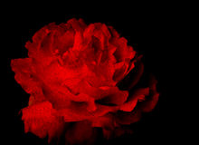 Deep red rose Royalty Free Stock Photography