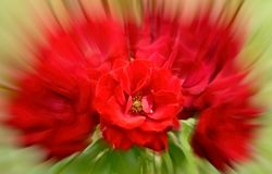 Deep red rose distorted image. stock photography