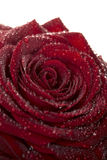 Deep red rose flower with dew drops Stock Photos