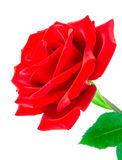 Deep red rose for Valentine's Day Royalty Free Stock Image