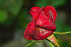 Deep red rose with water droplets Royalty Free Stock Photography