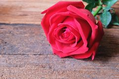 Deep red rose on wooden floor. Backdrop for Valentine's day concept. Copy space royalty free stock photo