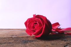 Deep red rose on wooden floor with pastel pink background. Valentine& x27;s concept. Copy space royalty free stock images