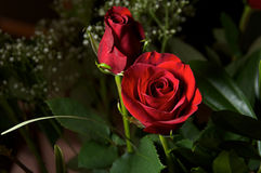Deep red roses with baby breath Royalty Free Stock Photos
