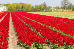 Deep red tulip field near village of Lisse in the Netherlands Royalty Free Stock Photography