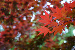 Deep Red Veined Japanese Maple Leaves Royalty Free Stock Image