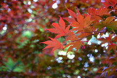 Deep Red Veined Japanese Maple Leaves Royalty Free Stock Photo