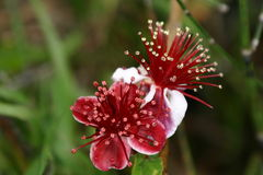 Deep Red and White Blossoms with many stamens Stock Photography