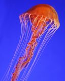 Deep reef jellyfish Royalty Free Stock Photography