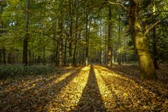 Long shadows of the trees going deep into the forest. Deep in Rendlesham forest in Suffolk the tall trees create impressive shadows taking you deeper into the stock image