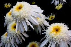 Deep Sea Daisy's Royalty Free Stock Image
