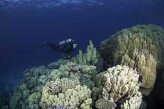 Deep sea diver exploring reef Royalty Free Stock Photography