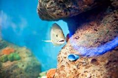 A deep-sea fish Royalty Free Stock Photos
