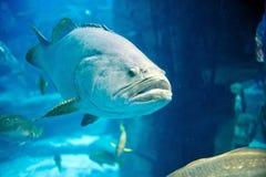 A deep-sea fish swim to the lens Stock Photos