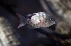 Deep sea fish Royalty Free Stock Images