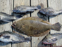 Deep Sea Fishing Catch. Photo of big flounder surrounded by black sea bass.  These were caught off of ocean city maryland in the atlantic ocean Royalty Free Stock Photo