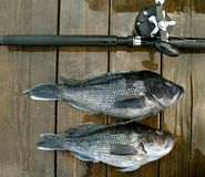 Deep Sea Fishing Catch. Photo of pair of black sea bass caught off of Ocean City Maryland on a headboat.  These fish are very good eating Royalty Free Stock Image