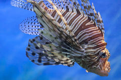 Deep sea lion fish Stock Photo