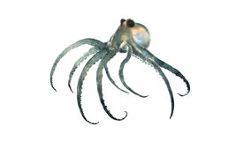 Deep sea octopod isolated Stock Images