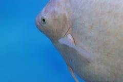 Deep-sea ornamental fish Royalty Free Stock Photos