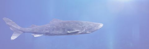 Greenland shark swimming, Somniosus microcephalus, shark with the longest known lifespan of all vertebrate species. Deep sea shark, rare fish of the northern stock image