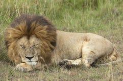 Deep sleep. Mature male lion deep sleeping  at long grass, Masai Mara , Kenya Stock Photos