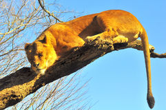 Deep sleep on a tree. A lion is sleeping soundly on a tree Royalty Free Stock Photography