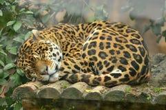 Deep sleeping leopard. A deep sleeping leopard in zoo Royalty Free Stock Images