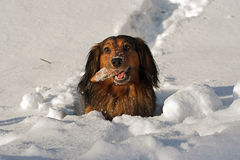 In a deep snow. Shot of a dachshund in the deep snow royalty free stock images