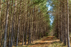 Deep South Pine Woods Stock Photography