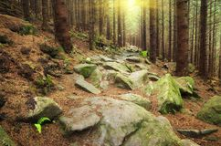 Deep in spruce forest. Royalty Free Stock Photos