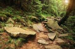 Deep in spruce forest Stock Photography