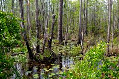 Deep in the swamp. A view of the swamp from a canoe trail Royalty Free Stock Photo