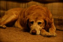 Deep in Thought. Image of a labrador retriever mix resting on the living room floor Royalty Free Stock Image