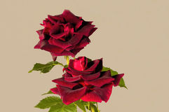 Deep velvet rich red Burgandy colored Rose. Papa Meilland renouned for it's amazing perfume and vibrant long lasting true deep color photographed against a Royalty Free Stock Photography
