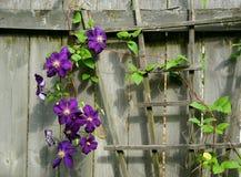 Deep violet climbing Clematis vine Stock Photography