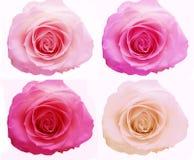 Deep violet rose heart closeup Stock Photo
