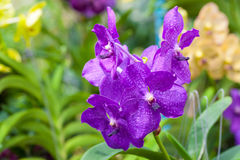 The deep Violet Vanda orchid Stock Image