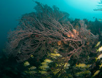Deep Water Sea Fan on a reef Royalty Free Stock Photo