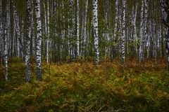 Deep wild birch forest with fern plants in autumn Stock Photography