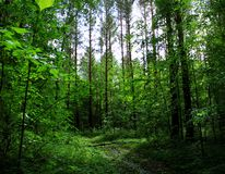 Deep forest in Perm. Deep and wild forest contains fairytails and secrets Stock Images