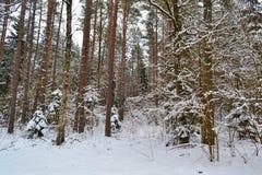 Deep winter forest landscape. Cold season. Pine branch. Russian winter. Belarus landscape. Winter forest landscape. Cold season. Pine branch. Russian winter stock photos