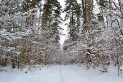 Deep winter forest landscape with road. Cold season. Pine branch. Belarus landscape royalty free stock photo