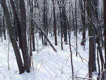 Deep in the woods of Oka, Quebec, in winter. White snow covering the ground Stock Photos